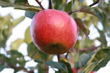 Jablko topaz